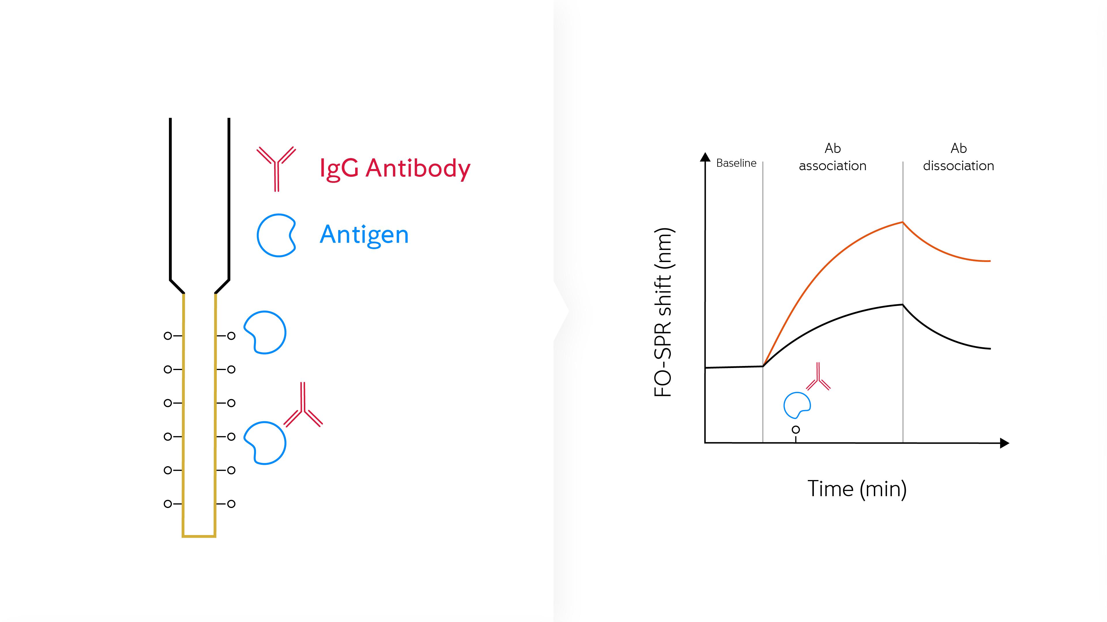 Antibody binding kinetics infographic